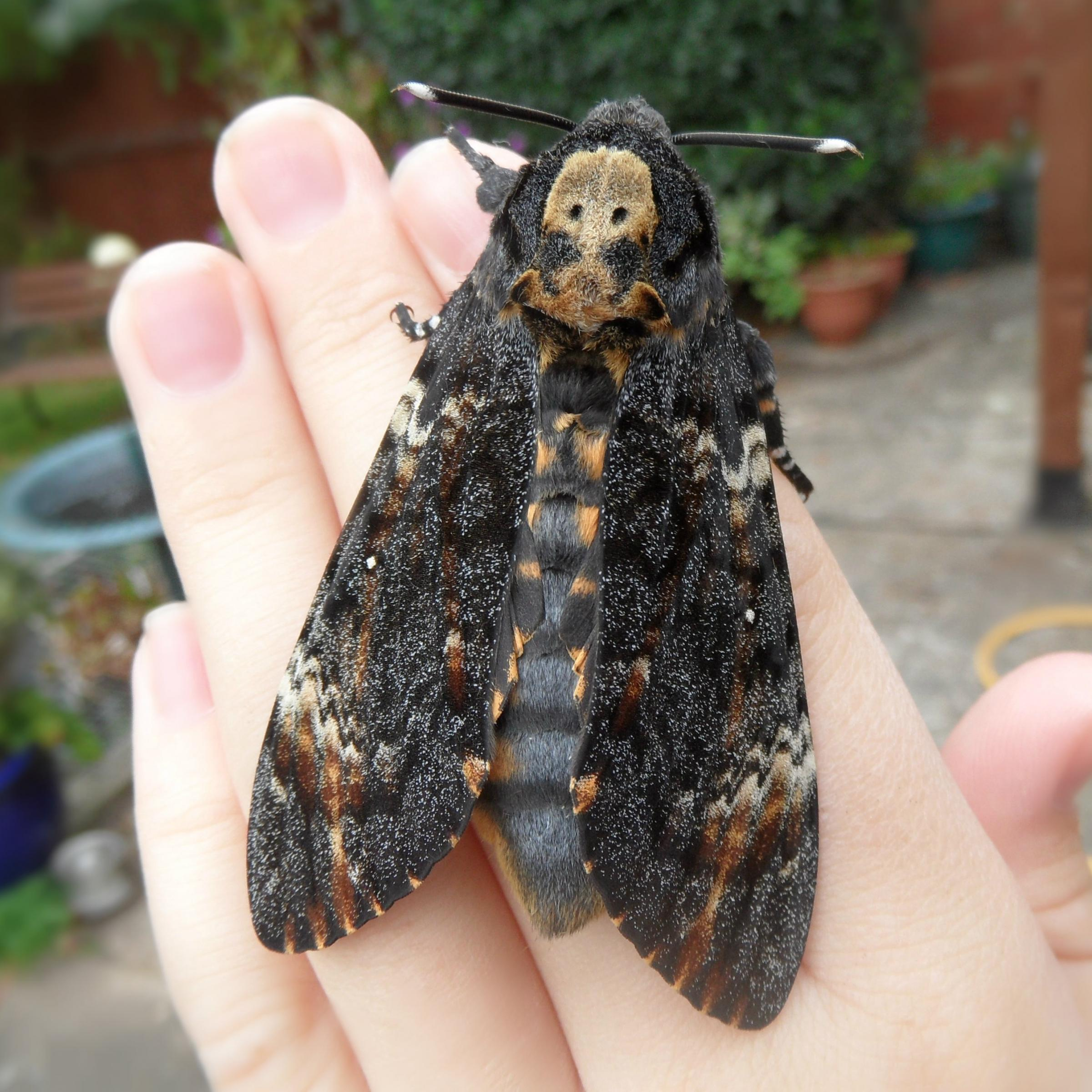 Giant grim reaper moths the size of bats are invading Britain